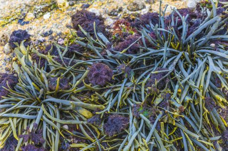 algues marine